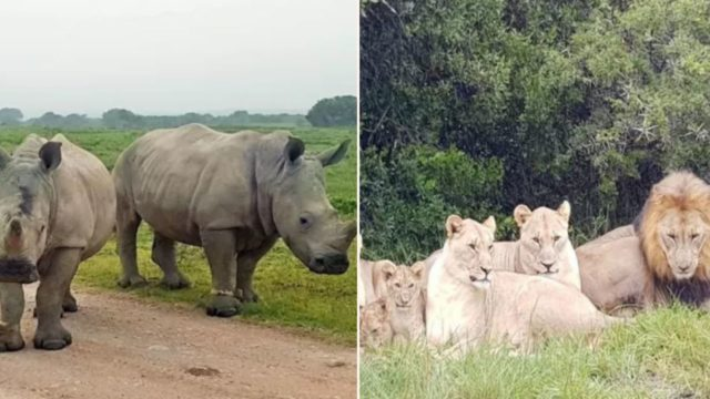 Poachers eaten alive by lions after illegally breaking in to target rhinos