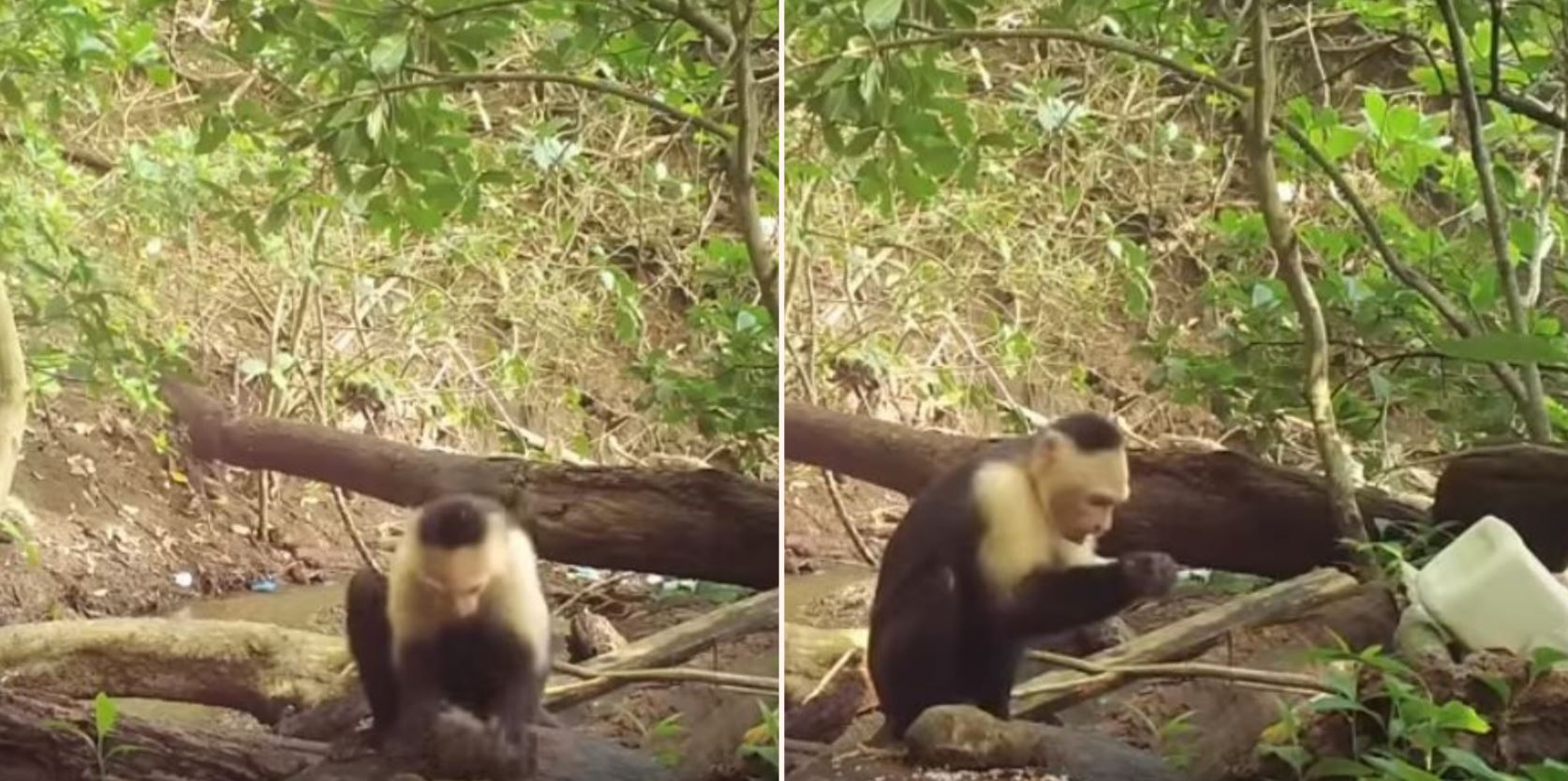 These monkeys from Panama have entered The Stone Age