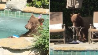 Awesome bear goes for a swim in blokes backyard, drinks margeritas, then takes a nap