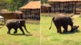 """Elephant rushes to the rescue of his caregiver after he's """"attacked"""""""