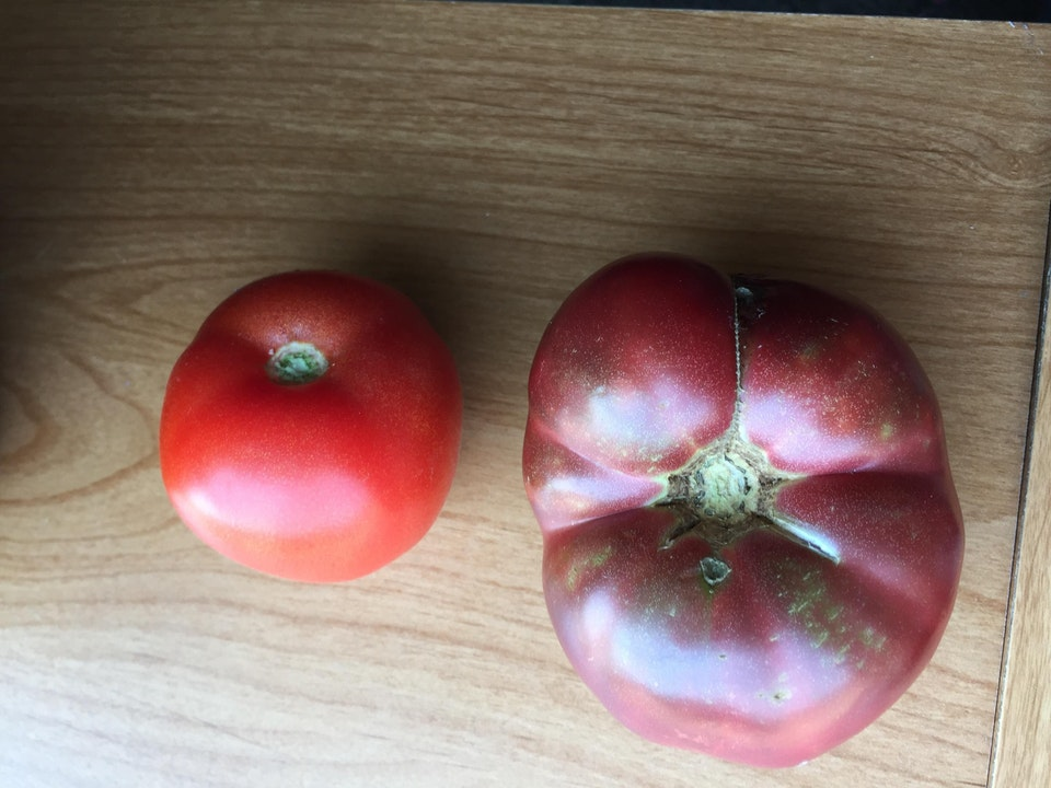 A ripe one grown from one of Lincoln's ripe ones compared to a modern one. Credit: Reddit/Mildly Interesting