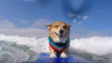 Legendary dog surfs as therapy to recover from attack that scarred him