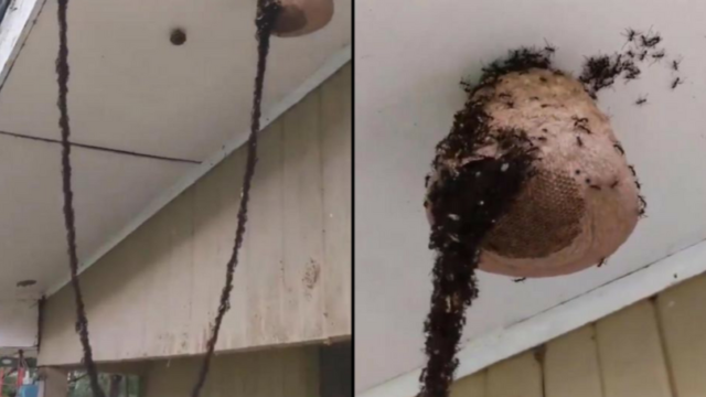 Group of ants build a f*cken bridge to attack wasps and steal their larvae