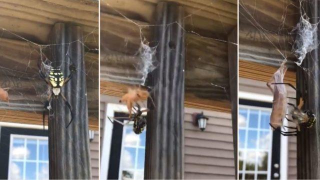 The terrifying moment bloke feeds grasshopper to spider