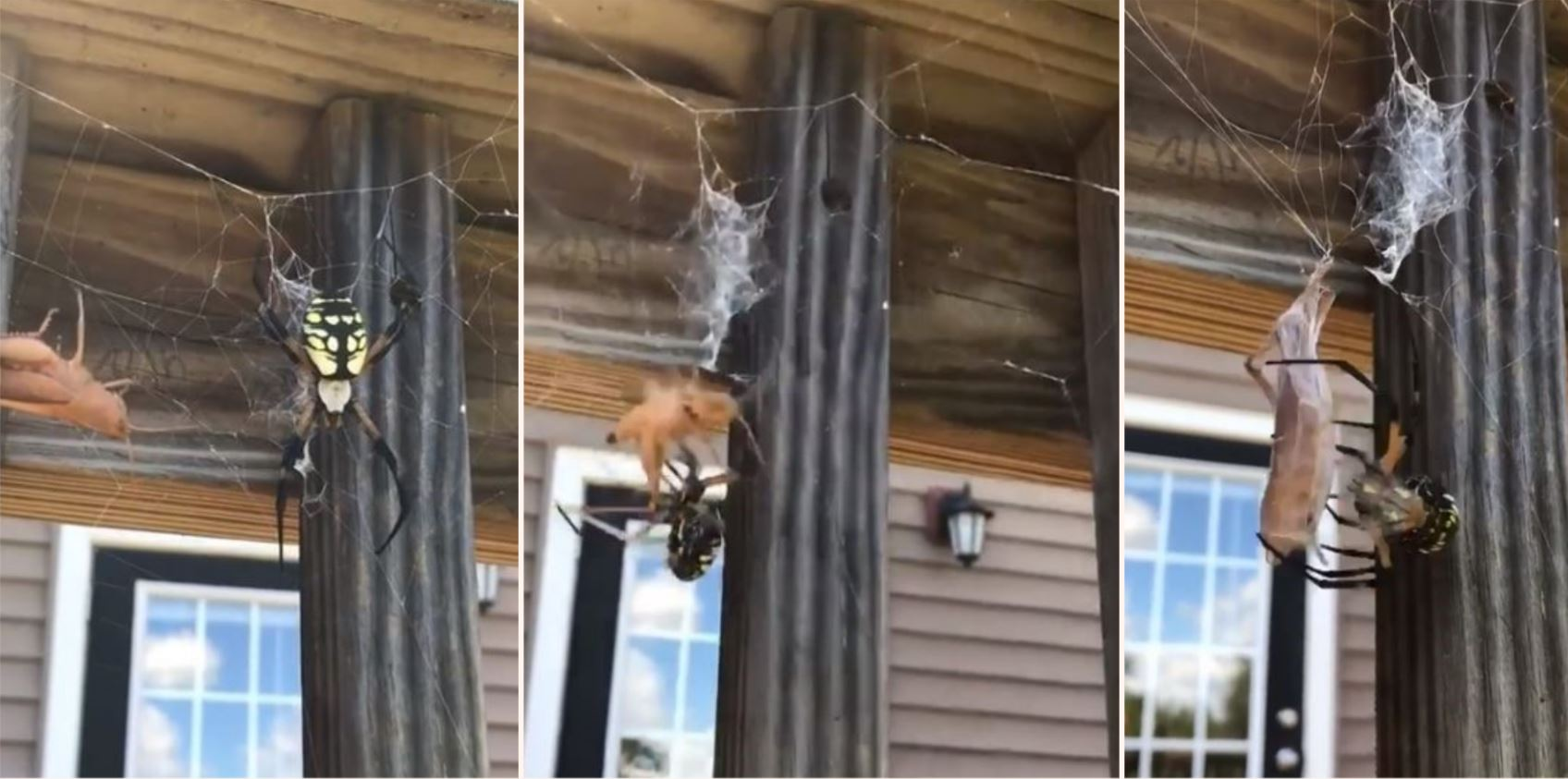 The terrifying moment bloke feeds grasshopper to spider
