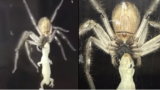 Huge huntsman spider devours a f*cken gecko