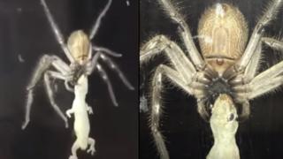 Huge huntsman spider devours a f*cken gecko