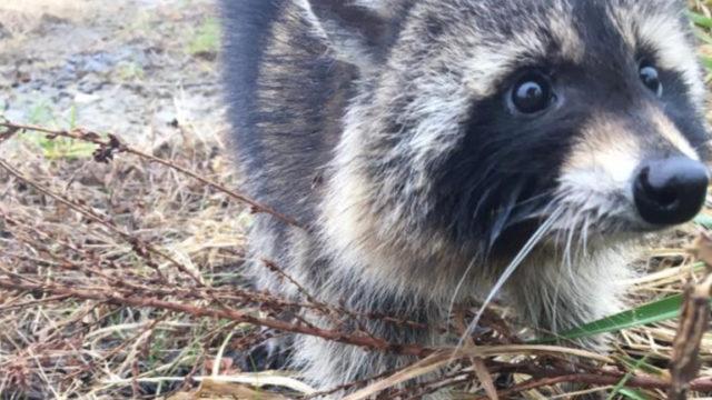 Raccoons suspected of having rabies were actually just drunk as f**k