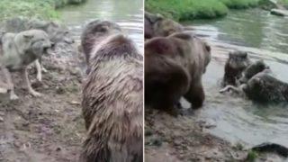 Group of bears f**ken destroy a wolf in Dutch zoo
