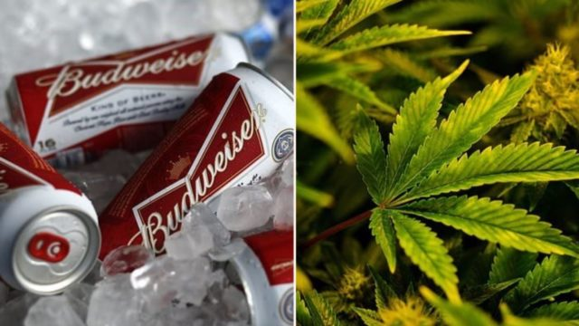 Budweiser partners with medical cannabis company to research weed-infused drinks