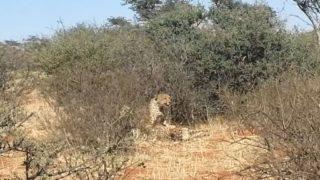 Pervy giraffes watch on as three cheetas do the dirty