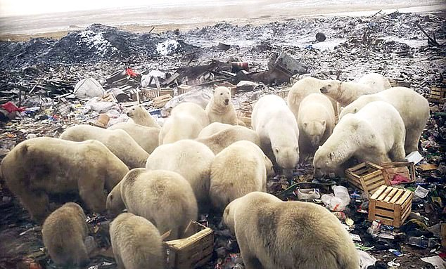 BLOODY RUN! State of emergency declared after 50 polar bears invade Russian town!