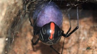 Relative of the Redback and Black Widow spiders found and it's the largest of them all!