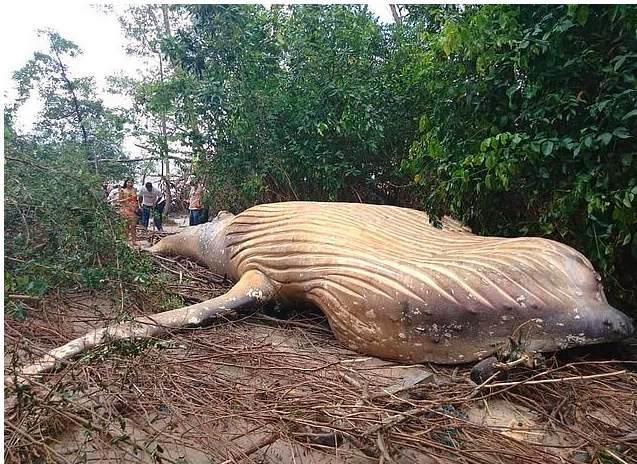Dead Humpback Whale has mysteriously turned up in the Amazon Rainforest