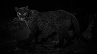 Bloody legend photographer catches rare black leopard in Africa for the first time in almost a century