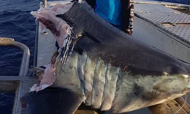 Aussie bloke finds 100kg shark head bitten clean off by something