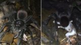 Watch this f**k-off big spider drag an opossum to its lair