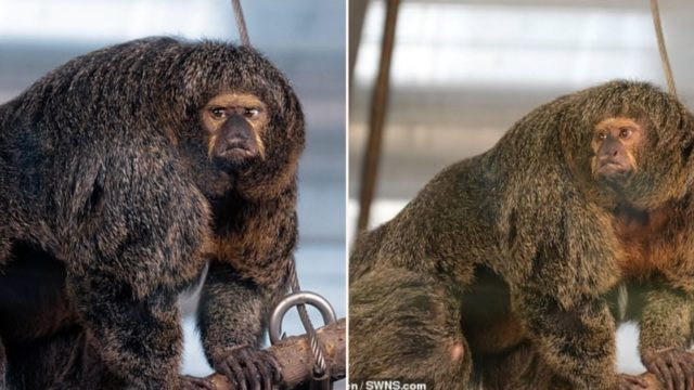 F*** off big muscular monkey spotted at Zoo