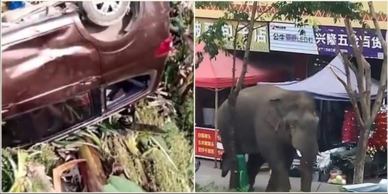 """""""Toey"""" elephant smashes cars and houses after failing to find a missus"""