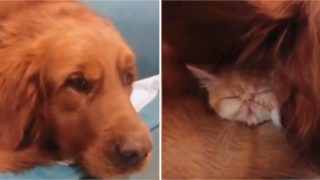 Bloke finds his 'missing' kitten snoozing under dog's ear