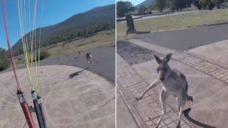 Paraglider gets into biff with kangaroo during landing, because 'STRAYA