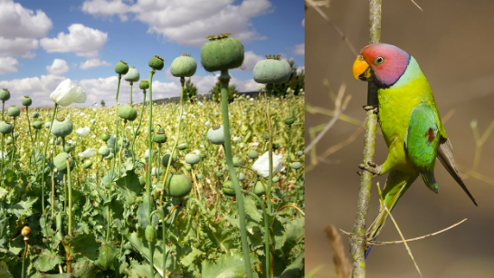 Opium addicted parrots are wreaking havoc in India's Opium farms
