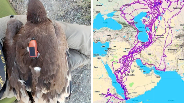 Bloke discovers dead eagle with tracking device, turns out it travelled everywhere