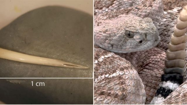 1,500 years ago, someone ate a venomous snake whole