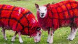 Scottish farmer pranks tourists by claiming sheep grow tartan wool