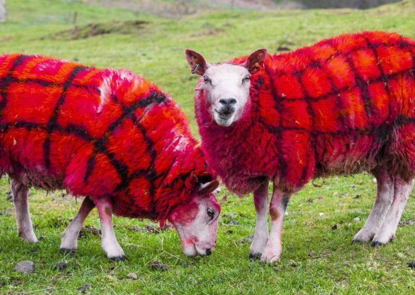 Scottish farmer pranks tourists by claiming sheep grow tartan wool