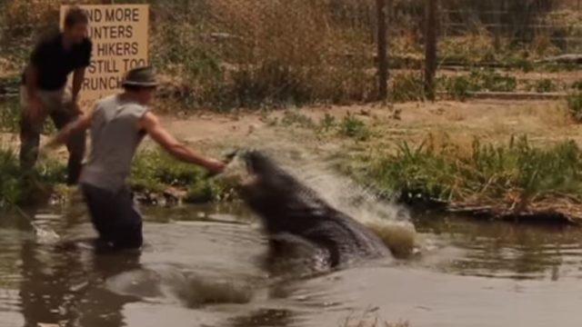 """Wild Charles"" almost loses an appendage ""exercising"" a giant Alligator"