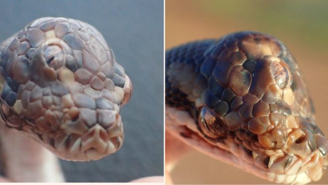 A f**ken three-eyed snake has been discovered in Australia
