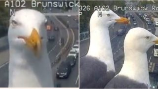 Two Seagulls continue to land in front of a London traffic camera and have become stars