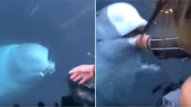 Legend of a Beluga Whale returns iPhone woman dropped in the sea