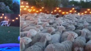 Bloke leaves back fence open, gets invaded by 200 sheep who refuse to leave