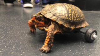 This turtle lost both his back legs so vets got creative
