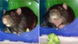 Polite rat kindly returns broccoli to owner after discovering how it tastes