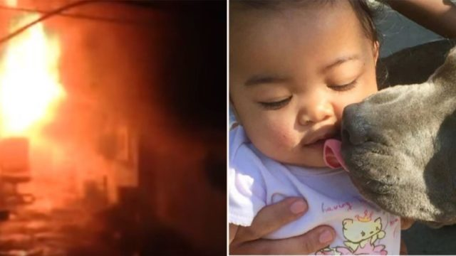 Legend of a pit bull saves baby from house-fire, carries her by nappy