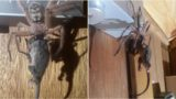 This spider ate a bloody possum