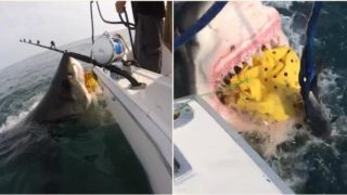 Two tonne great white shark jumps from water and tears chum bag from boat
