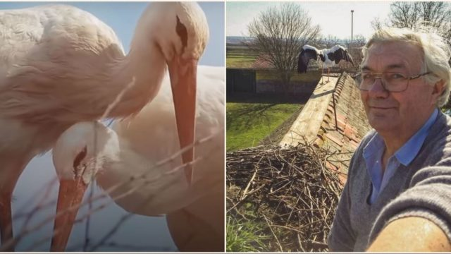Stork flies 13,000kms every year to reunite with his wounded soulmate