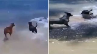 Shark tries to attack dog on beach, gets ass kicked by a pack of other dogs