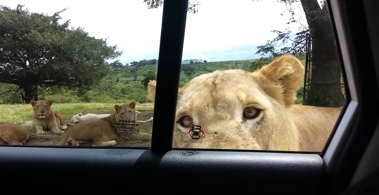 Tourist group instantly learn lesson after forgetting to lock car door on safari