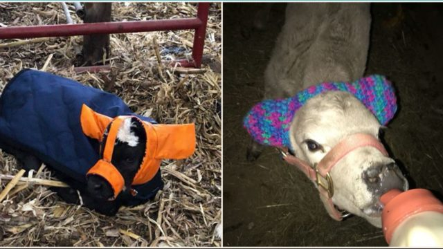 Farmers are protecting calves from frostbite with custom earmuffs and its bloody genius