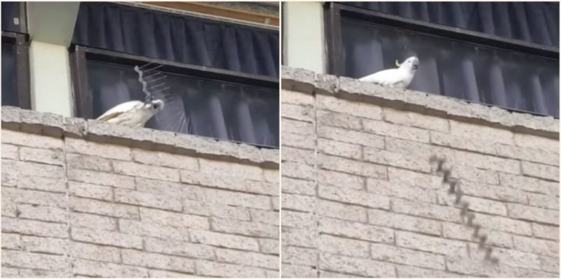 Angry Cockatoo destroys entire row of anti-nesting spikes