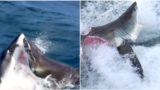 Two great white sharks attack each other in South Australia