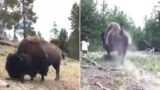 Giant bison sends 9 year old girl flying through the air