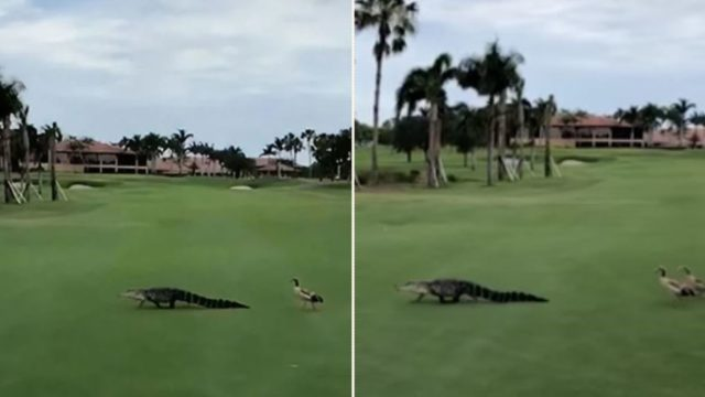 Hilarious footage of geese running it straight against an alligator