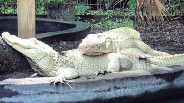 Florida Park alligators have laid an incredibly rare batch of albino eggs