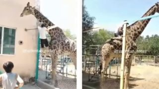 Bloke jumps over a zoo fence and rides a giraffe